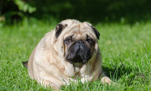 肥満犬のダイエット・減量におすすめ!低カロリードッグフードランキング