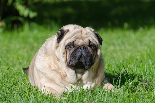 太り気味の愛犬のダイエットにおすすめな低カロリードッグフードランキング