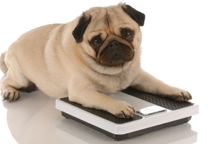 犬の肥満はドッグフードで対策!