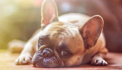 犬の湿疹はアトピー性皮膚炎の可能性大!アレルギーの症状・原因・対策まとめ