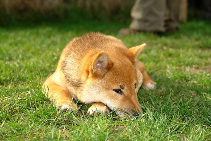 海外での柴犬ブームのきっかけは何?