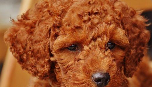 トイプーより小さい!タイニープードルの成犬時の大きさはどのくらい?