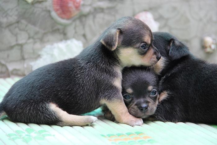 【めっちゃかわいい!】黒いチワワブラックタンの成犬の性格と特徴とは