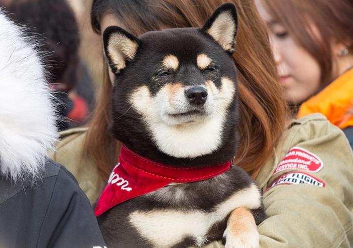 【海外の柴犬ブームがヤバすぎ!】人気の理由と海外での反応まとめ