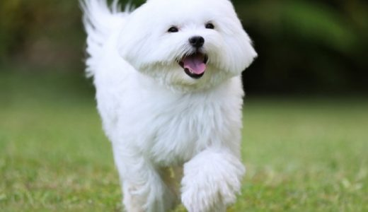 マルチーズのミックス犬の種類と性格・寿命まとめ