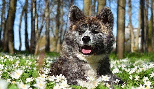 【熊みたい!】虎毛の秋田犬の性格と販売価格をわかりやすく解説