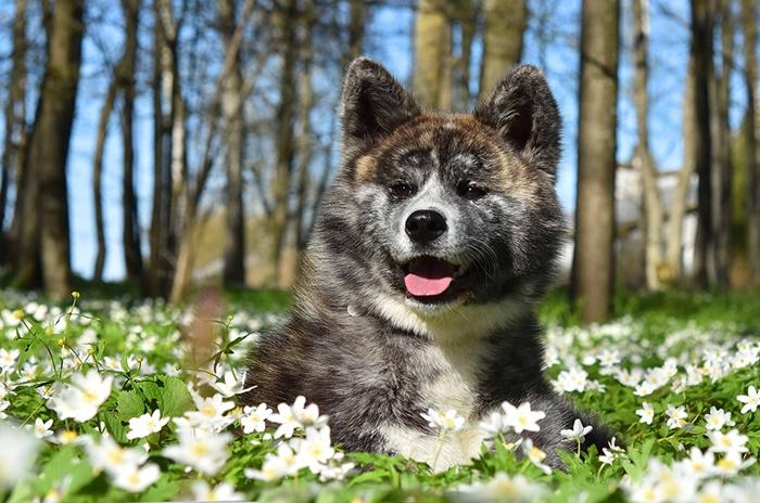 【熊みたい!】虎毛の秋田犬の特徴販売価格はどれくらい?