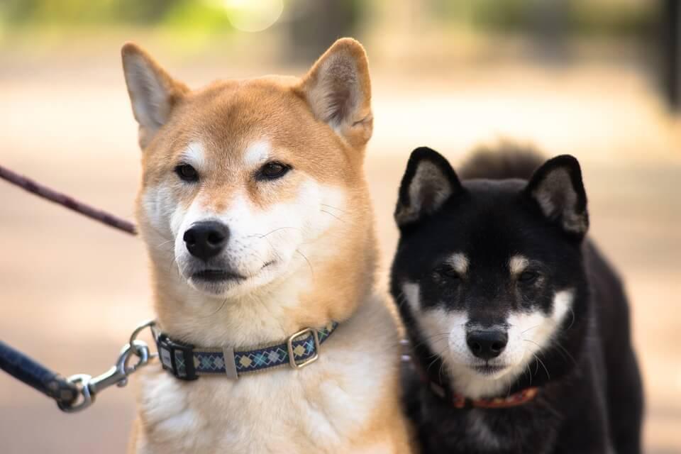 柴犬のドッグフード人気ランキング!評判が良いおすすめの餌の選び方