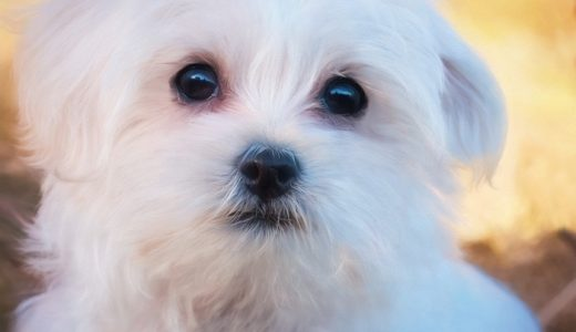 マルチーズとシーズーのミックス犬【マルシーズー】の性格や寿命・特徴まとめ