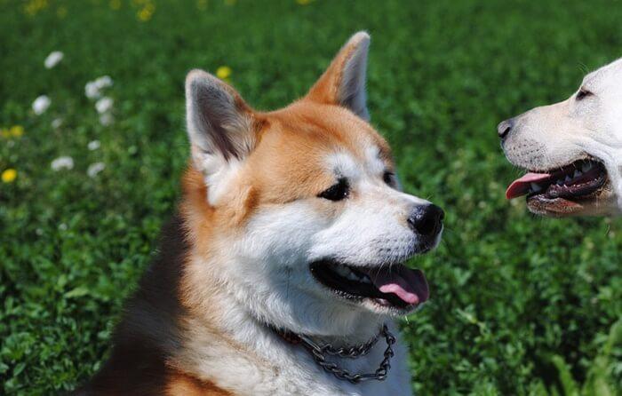 秋田犬のドッグフード人気ランキング!評判が良いおすすめの餌の選び方