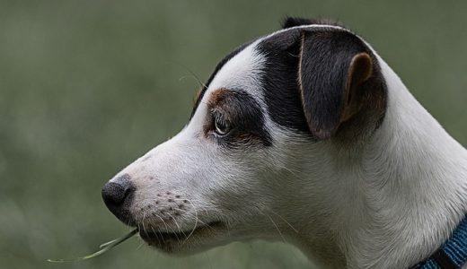 犬の口臭対策サプリおすすめ比較ランキング!口臭・体臭の原因と予防まとめ