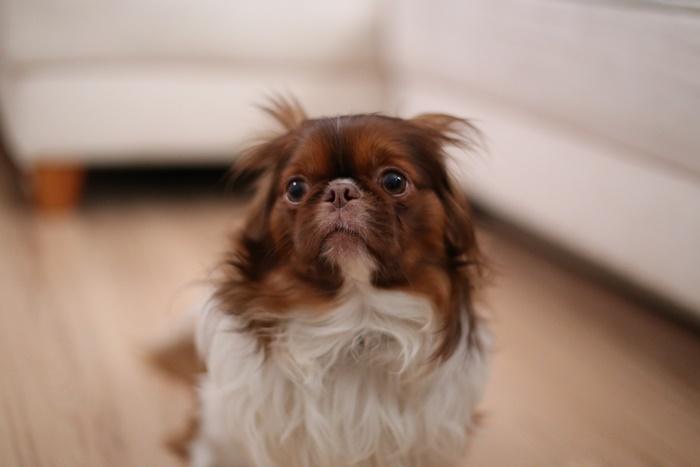 狆(チン)とチワワのミックス犬【狆チワ】の性格や寿命・特徴まとめ