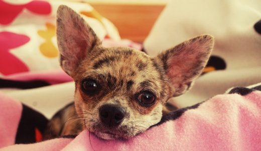 下痢しやすい犬におすすめのドッグフードランキング!おなかがゆるい&軟便の原因と対策