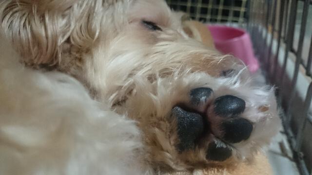 犬の肉球の役割とケア方法とは?色の変化やひび割れ・腫れの原因