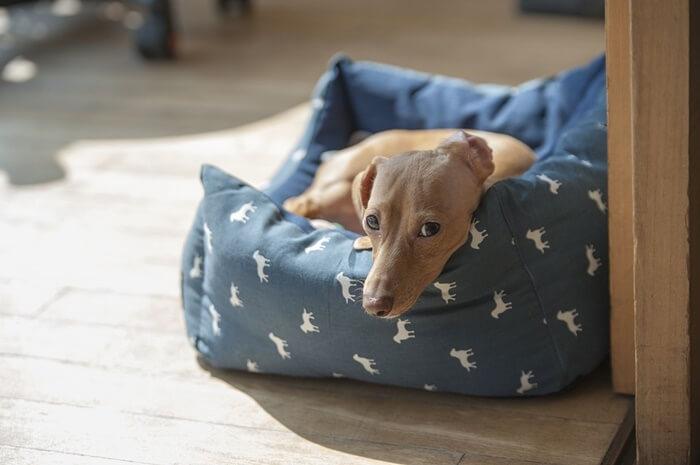 室内犬でおすすめの種類は?飼い方は?室内飼いで人気の犬種ランキング!
