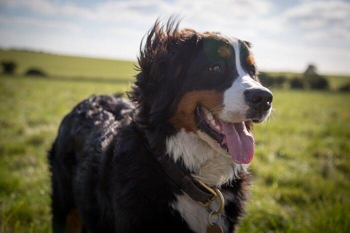 大きい犬種は飼いやすい?人気の大型犬の種類と飼い方の注意点