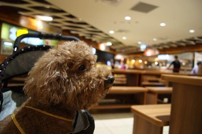 室内犬おすすめ犬種人気ランキング