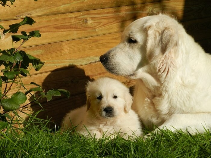 犬の生理(ヒート)は何歳まで?犬種による違いや周期・症状まとめ