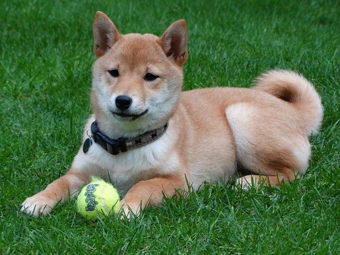 豆柴の成犬時の大きさはどれくらい?値段や性格について徹底解説