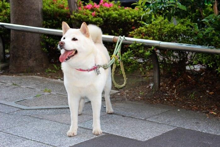 ソフトバンクのお父さん犬!北海道犬ってどんな犬?別名はアイヌ犬