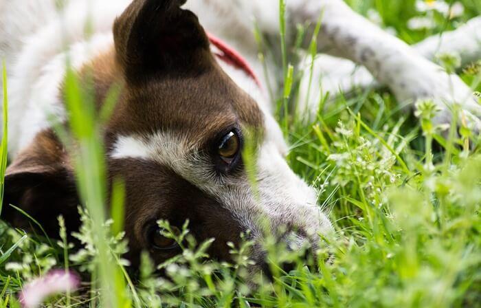 犬のアトピー性皮膚炎改善におすすめのサプリメントランキング!肌荒れを治療せよ