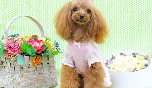 トイプードルの性格は賢いのに甘えん坊!小型犬で1番人気の理由は性格の良さだった?