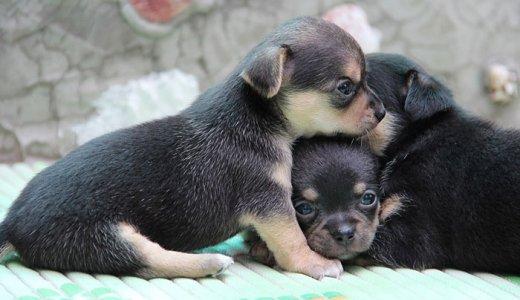幼犬・子犬用におすすめのドッグフードランキング【パピーの餌の選び方】