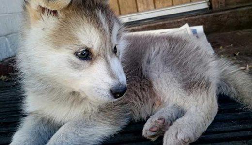 【ポンスキー】ポメラニアンとシベリアンハスキーのミックス犬が可愛すぎる!